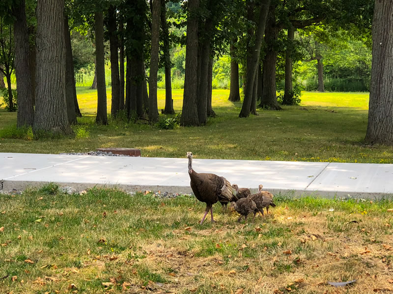 Photo of turkeys on North Campus
